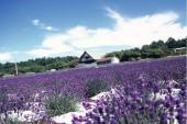 lavendergarden1