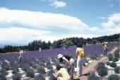 lavendergarden 2