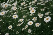 オックスアイデイジー_Chrysanthemum_ leucanthemum