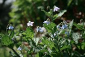 クリーピングボリジ_Borago_laxiflora