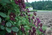 クレマチス_エトワール_バイオレットClematis_viticella_Etoile_Violette
