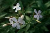 ソープワート_Saponaria_officinalis