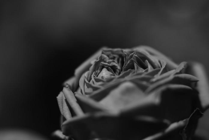 2013セピアなバラ