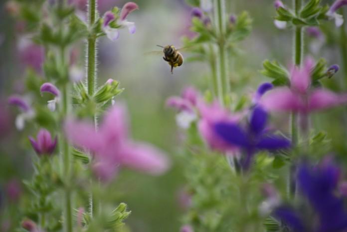 2013ペインテッドセージと蜜蜂