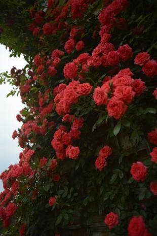 2013赤つるバラ