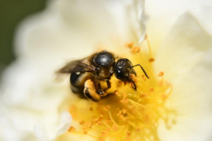 20130618バラと蜜蜂