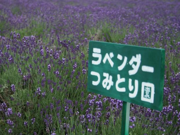 ラベンダー摘みとり園