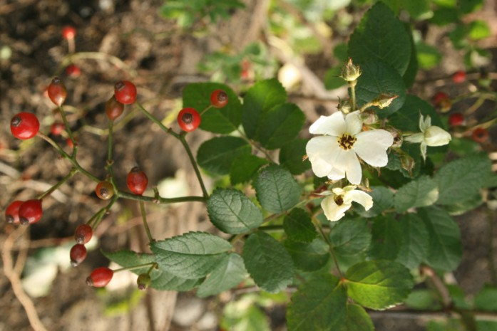 2014ノイバラ実と花
