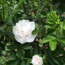 <ブランダブルドゥクーベルト>白いハマナスが咲きはじめました
