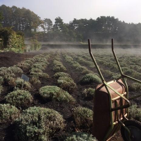 チップ敷ラベンダー畑