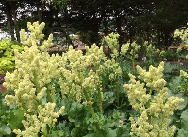 ルバーブの花
