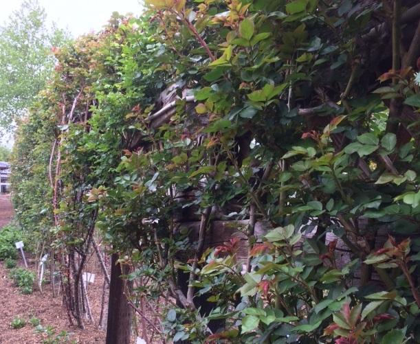 葉が充実したツルバラ達