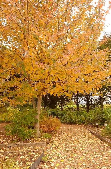 美しく紅葉する<サトウカエデ>