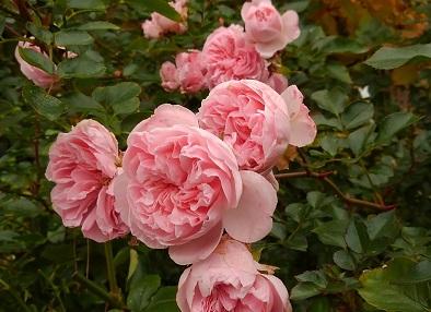 <ザ・ファウン>直径5センチの可愛らしい花は繰り返しよく咲きます