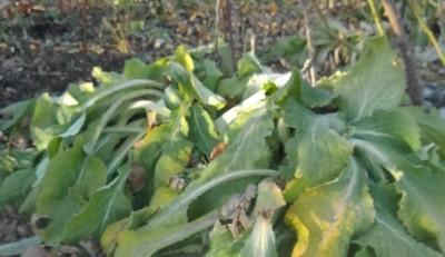 緑残るジキタリス