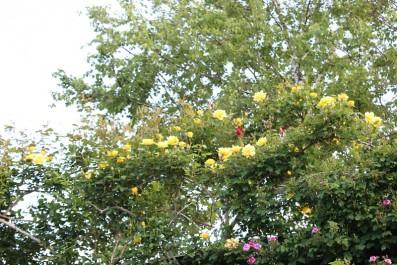 黄色つるバラ